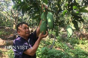 Sơn La: Ghép xoài Đài Loan lên gốc xoài ta ra trái 'khổng lồ' thu hơn 3 tỷ
