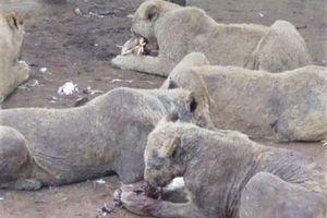 Sự thực hãi hùng sau trại nuôi nhốt sư tử ở Nam Phi