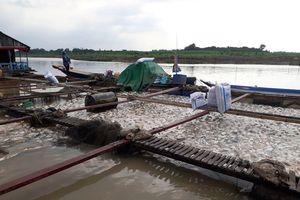 Xác định được nguyên nhân khiến gần 1.000 tấn cá chết trên sông La Ngà