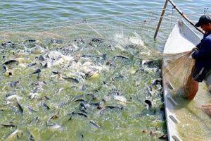 Giá cá tra giảm 6.000 đồng/kg trong 5 tháng qua
