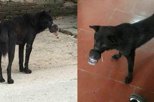 Chú chó đáng thương bị buộc chặt mõm bằng dây chun đã được đưa từ Lạng Sơn về Hà Nội điều trị