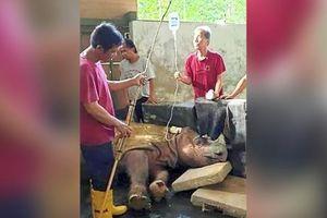 Tê giác Sumatra đực cuối cùng của Malaysia đã chết