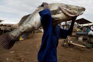 Cá rô sông Nile trước nguy cơ tuyệt chủng vì nhu cầu từ Trung Quốc