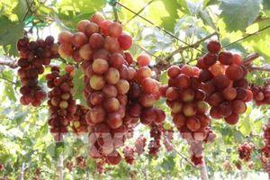 Ninh Thuận phát triển cây ăn quả có khả năng chịu hạn