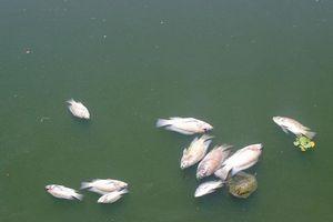 Quảng Nam: Cá chết nổi trắng hồ điều hòa