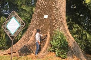 Chuyện về vườn thú 155 tuổi: Ly kỳ những 'cụ' cây của Thảo cầm viên