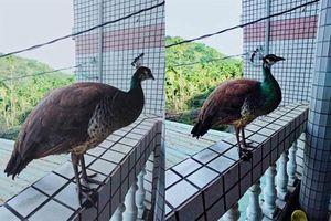 Tưởng có trộm, chủ nhà sững sờ phát hiện chim cổ tích