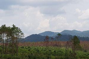 'Đầu độc' rừng thông giá 500-700.000 đồng/ngày để chiếm đất, sang nhượng
