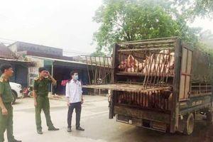 Thanh Hóa: Bắt giữ xe tải chở lợn không có giấy tờ, trốn cơ quan chức năng