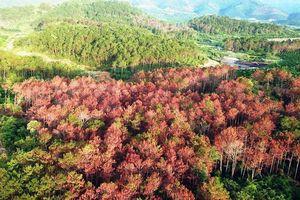 Vụ đầu độc chết hơn 10ha rừng thông: Bắt giam 3 đối tượng có liên quan