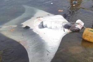 Ngư dân Lý Sơn bắt được cá đuối 'khủng' nhất từ trước tới nay