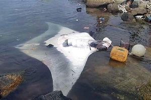 Ngư dân Lý Sơn bắt được cá đuối 'khủng' nặng 600kg