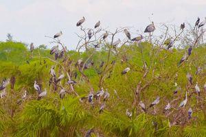 Hàng ngàn con cò nhạn quý hiếm về Vườn chim Bạc Liêu