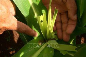 Sâu keo phá hoại gần 280 ha hoa màu ở Đồng Nai