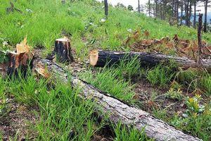 Khởi tố vụ án, bắt giam 3 đối tượng trong vụ phá rừng tại Lâm Đồng