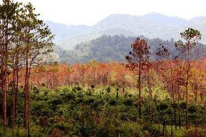 Thực nghiệm hiện trường vụ 'đầu độc' rừng thông ở Lâm Đồng