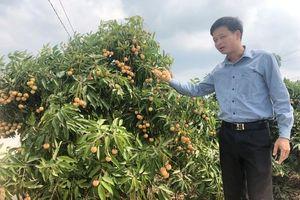 Saigon Co.op đẩy mạnh tiêu thụ vải thiều Lục Ngạn