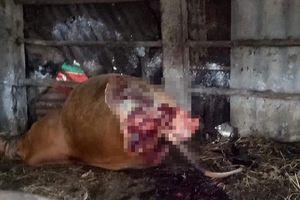 Chủ nhà hốt hoảng phát hiện con bò cái mang thai chết trong chuồng, 2 đùi bị xẻo thịt