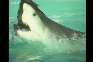 Cá mập lao lên mặt nước, tấn công chớp nhoáng đàn chim