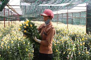 Lâm Đồng: Thạc sĩ sinh học hiến kế cứu vườn hoa cúc khỏi bệnh virus