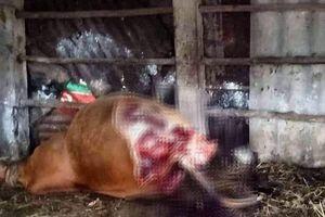 Truy tìm kẻ táng tận lương tâm đột nhập nhà dân xẻo trộm 2 đùi bò đang mang thai