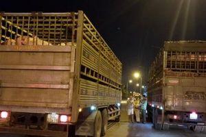 TP.HCM: Lập 2 chốt kiểm dịch động vật tạm thời để ngăn chặn dịch tả lợn châu Phi