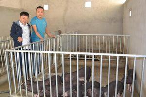 Con Cuông cấp gần 200 con lợn đen bản địa cho người dân