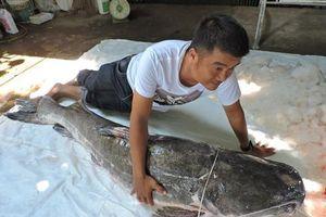 Cá lăng 'khủng', tuổi đời có thể nửa thế kỷ đánh bắt từ sông Sêrêpốk