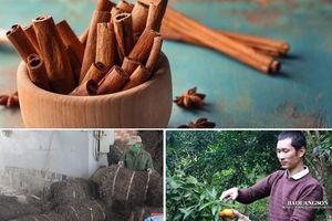 Quýt, quế, thạch đen Tràng Định giúp xóa đói, giảm nghèo cho người dân