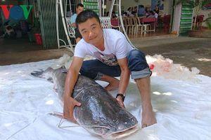Cần thủ câu được cá lăng đuôi đỏ nặng gần 80kg sông Srêpốk, Đắk Lắk