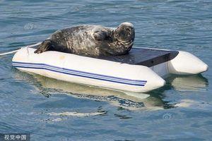 Hải cẩu 'bá đạo', chiếm thuyền hơi lật làm giường riêng