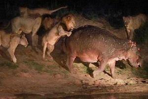 Cái kết thảm hại cho đàn sư tử tấn công hà mã