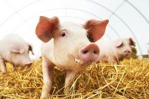 Giá heo (lợn) hơi hôm nay 4/6: Miền Bắc bất ngờ tăng nhẹ