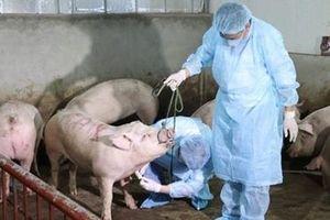 Đà Nẵng công bố dịch tả lợn châu Phi