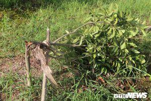 Nông dân Hưng Yên điêu đứng nhìn vườn cây ăn quả bị kẻ xấu chặt hạ trong đêm