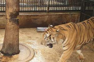 Bất ngờ nhân thân chủ con hổ cắn lìa tay người ở Bình Dương