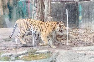 Vụ hổ vồ nát 2 tay nhân viên: Bất thường số lượng hổ nuôi