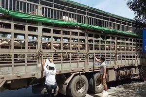 Đà Nẵng: Giữa 'tâm bão' dịch tả, dân 'hồn nhiên' mang lợn bệnh về bán