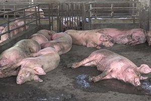 Việt Nam thiệt hại khoảng 3.600 tỷ đồng vì dịch tả lợn châu Phi