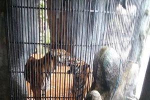 Hổ trong khu du lịch ở Bình Dương cắn đứt lìa 2 tay người đàn ông