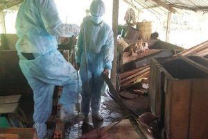 Xuất hiện ổ dịch tả lợn châu Phi tại huyện miền núi ở Quảng Trị