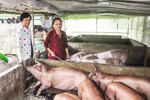 TP. Cần Thơ tiêu hủy trên 1.200 con lợn bị dịch tả châu Phi