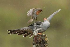 Chim hoét cổ đỏ và chim cu cu kịch chiến ngoạn mục