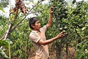 Bí quyết làm giàu: Thu lợi kép từ trồng cây ăn trái xen cà phê