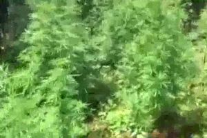 Gia Lai phát hiện hộ dân trồng hơn 200 cây cần sa