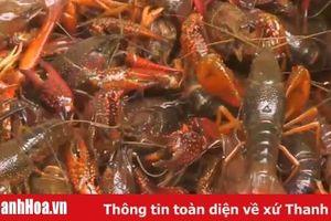 Tăng cường kiểm soát loài tôm hùm nước ngọt trên địa bàn tỉnh