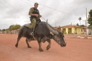 Choáng: Cảnh sát Brazil... cưỡi trâu đi tuần giữa phố