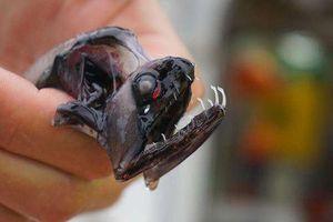 Kì lạ 'quái vật' biển sâu với hàm răng sắc nhọn trong suốt
