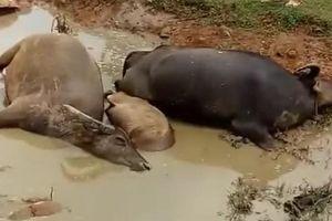 Lạng Sơn: Một đàn trâu 9 con bị sét đánh chết