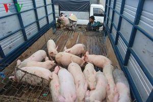 Gia Lai, Kon Tum lập thêm chốt ngăn chặn dịch tả lợn Châu Phi